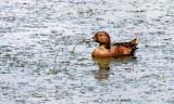 BIRD - DUCK - TEAL - CINNAMON TEAL FEMALE - RIDGEFIELD NWR WA (12).JPG