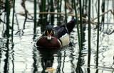 BIRD - DUCK - WOOD DUCK - SACRAMENTO BASIN CALIF.jpg