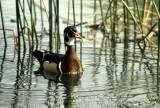 BIRD - DUCK - WOODDUCK - SACRAMENTO RIVER AREA B.jpg