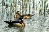 BIRD - DUCK - WOODDUCK - SACRAMENTO RIVER AREA.jpg