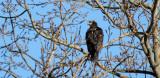 BIRD - EAGLE - BALD EAGLE - PADILLA BAY NWR WASHINGTON (4).jpg