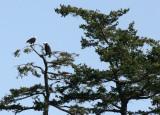 BIRD - EAGLE - BALD EAGLE - SAN JUAN ISLANDS WA (4).JPG