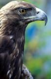 BIRD - EAGLE - GOLD - OP A (2).jpg