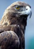 BIRD - EAGLE - GOLDEN - OP N.jpg