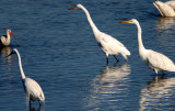 BIRD - EGRET - GREAT - ARANSAS TX (2).jpg