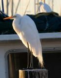 BIRD - EGRET - GREAT - ARANSAS TX (4).jpg