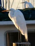 BIRD - EGRET - GREAT - ARANSAS TX (5).jpg