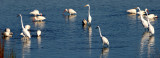 BIRD - EGRET - GREAT - ARANSAS TX (9).jpg