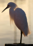 BIRD - EGRET - SNOWY - ARANSAS A (7).jpg
