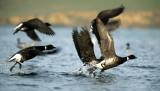 BIRD - GOOSE - BRANT - POINT REYES TOMALES BAY.jpg