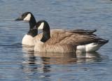 BIRD - GOOSE - CANADA GEESE - DRY FALLS WASHINGTON (6).jpg