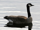 BIRD - GOOSE - CANADA GOOSE - LINCOLN MARSH ILLINOIS (12).JPG