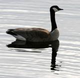BIRD - GOOSE - CANADA GOOSE - LINCOLN MARSH ILLINOIS.JPG