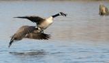 BIRD - GOOSE - CANADA GOOSE - WEST CHICAGO MARSH ILLINOIS (4).jpg