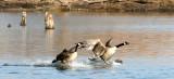 BIRD - GOOSE - CANADA GOOSE - WEST CHICAGO MARSH ILLINOIS (7).JPG