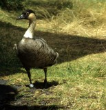 BIRD - GOOSE - NENE - HAWAII KAU DESERT (2).jpg