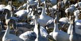 BIRD - GOOSE - SNOW GEESE IN SKAGIT VALLEY - MOUNT VERNON WASHINGTON AREA (12).jpg
