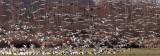 BIRD - GOOSE - SNOW GEESE IN SKAGIT VALLEY - MOUNT VERNON WASHINGTON AREA (62).jpg