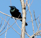 BIRD - GRACKLE - COMMON GRACKLE - WEST CHICAGO MARSH ILLINOIS (4).jpg
