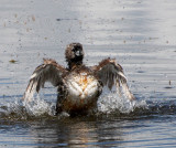 BIRD - GREBE - PIED-BILLED GREBE - RIDGEFIELD NWR WA (31).jpg