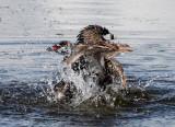 BIRD - GREBE - PIED-BILLED GREBE - RIDGEFIELD NWR WA (56).jpg