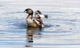 BIRD - GREBE - PIED-BILLED GREBE - RIDGEFIELD NWR WA (61).JPG