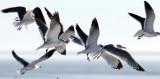 BIRD - GULL - LAUGHING GULL - ARANSAS TEXAS - WITH RING-BILLED GULL.jpg