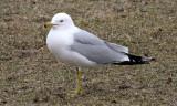 BIRD - GULL - RING-BILLED GULL - CHICAGO MONTROSE PARK (3).JPG