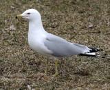 BIRD - GULL - RING-BILLED GULL - CHICAGO MONTROSE PARK (6).JPG