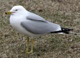 BIRD - GULL - RING-BILLED GULL - CHICAGO MONTROSE PARK (9).JPG
