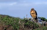 BIRD - HAWK - NORTHERN HARRIER - POINT REYES NP (2).jpg