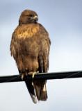 BIRD - HAWK - RED-TAILED - KLAMMATH BASIN CALIFORNIA.jpg