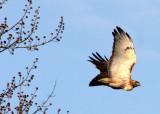 BIRD - HAWK - RED-TAILED HAWK - DANADA FOREST PRESERVE ILLINOIS (5).JPG