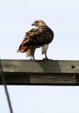 BIRD - HAWK - RED-TAILED HAWK - WHEATON ILLINOIS (2).JPG