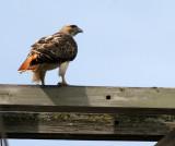 BIRD - HAWK - RED-TAILED HAWK - WHEATON ILLINOIS (9).JPG