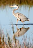 BIRD - HERON - GREAT BLUE - ARANSAS.jpg