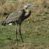 BIRD - HERON - GREAT BLUE - POINT REYES CALIF.jpg