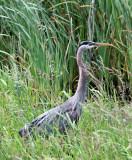 BIRD - HERON - GREAT BLUE HERON - RIDGEFIELD NWR WA (3).JPG