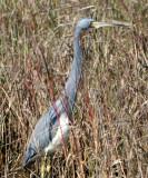 BIRD - HERON - TRICOLORED - ARANSAS (4).jpg