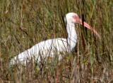 BIRD - IBIS - WHITE - ARANSAS A2 (4).jpg