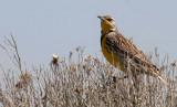 BIRD - MEADOWLARK - WESTERN - POTHOLES SP WASHINGTON (2).jpg