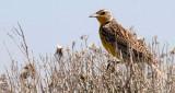 BIRD - MEADOWLARK - WESTERN - POTHOLES SP WASHINGTON.jpg