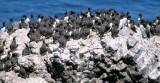 BIRD - MURRE - COMMON - YAQUINA HEAD OREGON C.jpg