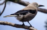 BIRD - NUTCRACKER - OREGON.jpg