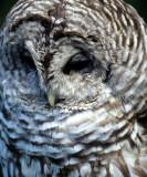 BIRD - OWL - BARRED - OP K.jpg