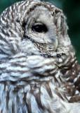 BIRD - OWL - BARRED - OP M.jpg
