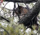 BIRD - OWL - GREAT-HORNED OWL - GENEVA COURTHOUSE ILLINOIS (18).JPG