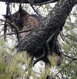 BIRD - OWL - GREAT-HORNED OWL - GENEVA COURTHOUSE ILLINOIS (20).JPG