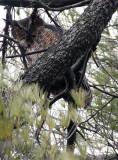 BIRD - OWL - GREAT-HORNED OWL - GENEVA COURTHOUSE ILLINOIS (23).JPG