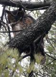 BIRD - OWL - GREAT-HORNED OWL - GENEVA COURTHOUSE ILLINOIS (30).JPG